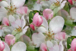 Click to get the codes for this image. Apple Blossoms, Flowers  Floral Designs, Seasons  Spring Background, wallpaper or texture for Blogger, Wordpress, or any phone, desktop or blog.