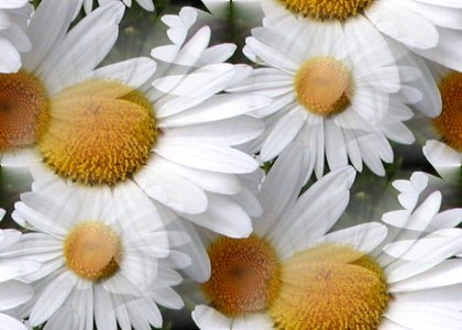 Click to get the codes for this image. Daisies, Flowers  Floral Designs, Colors  White and Eggshell, Seasons  Summer Background, wallpaper or texture for Blogger, Wordpress, or any phone, desktop or blog.