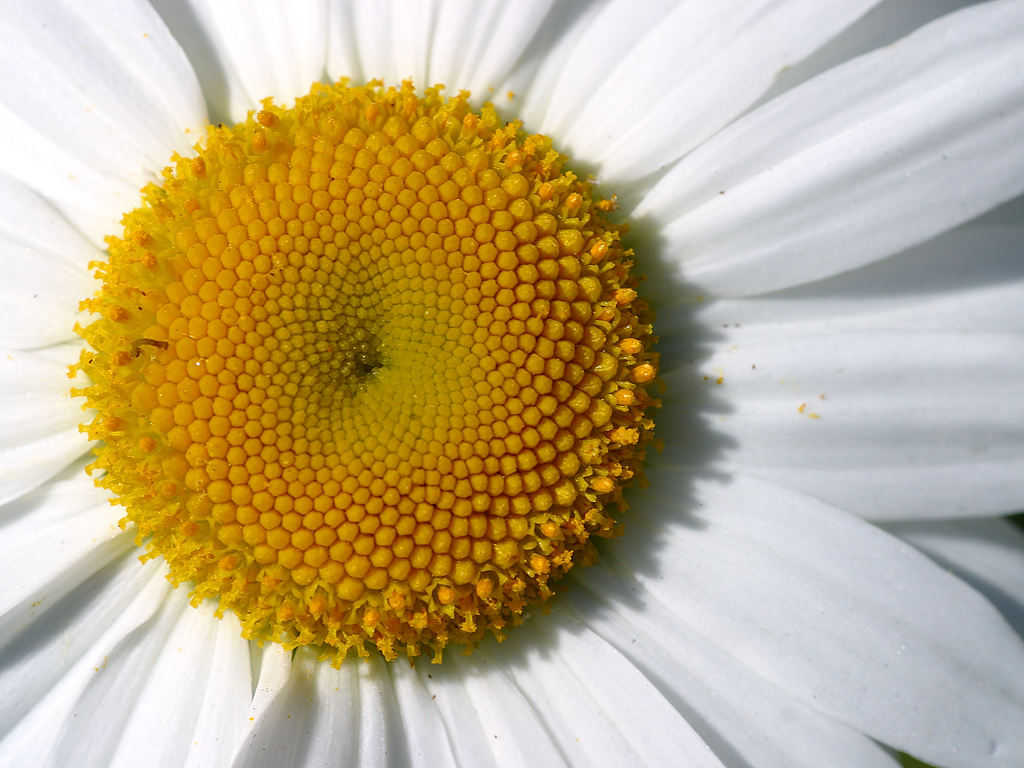 Click to get the codes for this image. Daisy Close Up, Flowers  Floral Designs, Seasons  Summer Background, wallpaper or texture for Blogger, Wordpress, or any phone, desktop or blog.