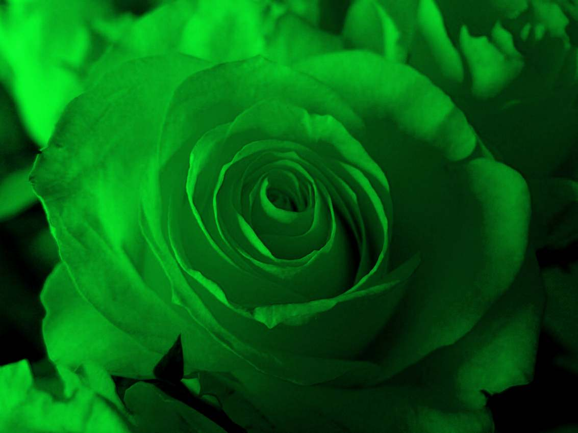 Click to get the codes for this image. Green Rose Closeup, Saint Patrick's Day, Colors  Green, Flowers  Floral Designs Background, wallpaper or texture for Blogger, Wordpress, or any phone, desktop or blog.
