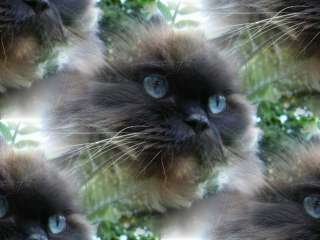 Click to get the codes for this image. Himalayian Kitty With Blue Eyes, Animals  Cats Background, wallpaper or texture for any blog, web page, phone or desktop