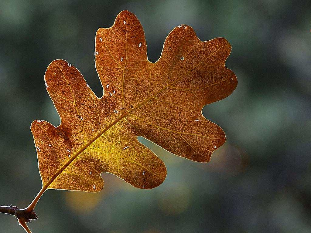 Click to get the codes for this image. Oak Leaf Closeup, Plants and Leaves, Seasons  Fall Background, wallpaper or texture for Blogger, Wordpress, or any phone, desktop or blog.