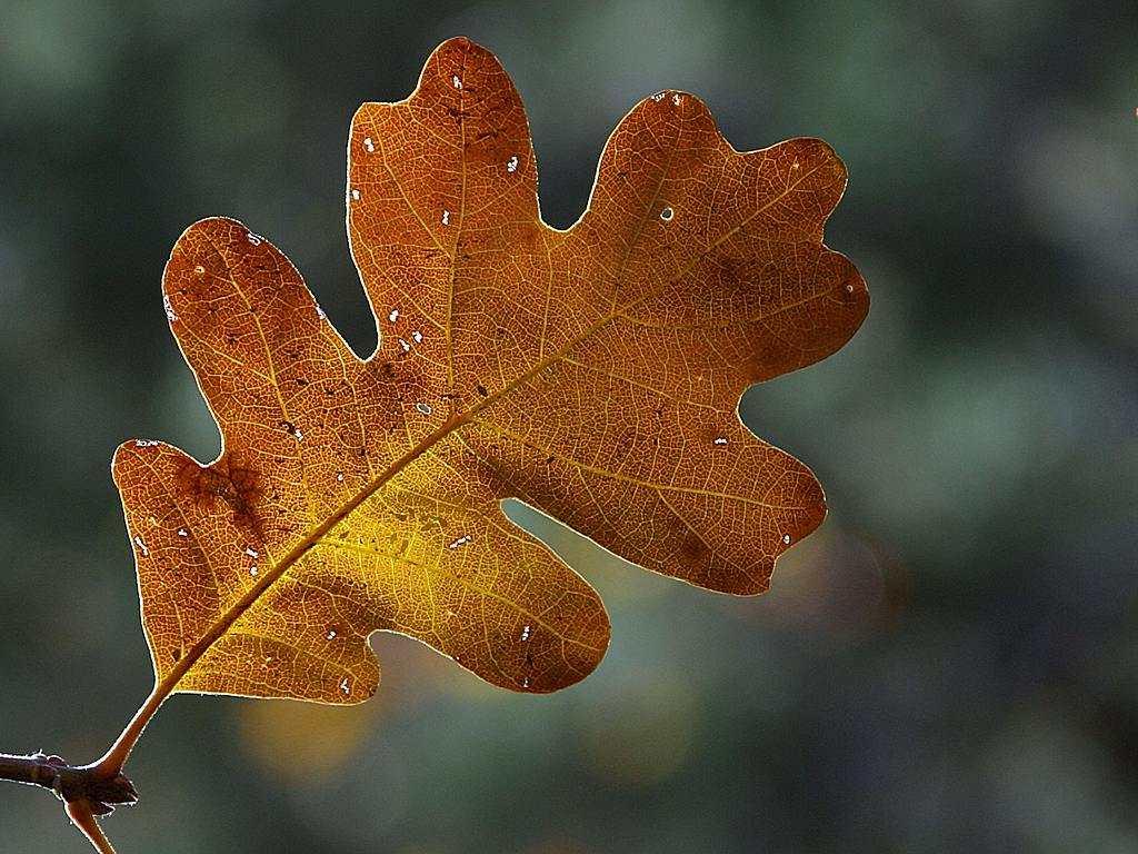 Http Becuo Com Fall Oak Leaves