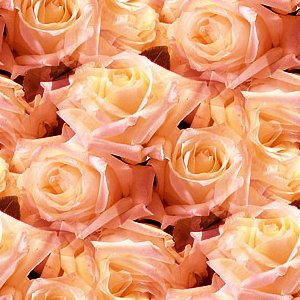 Click to get the codes for this image. Peach Roses, Flowers  Floral Designs, Colors  Orange Background, wallpaper or texture for Blogger, Wordpress, or any phone, desktop or blog.