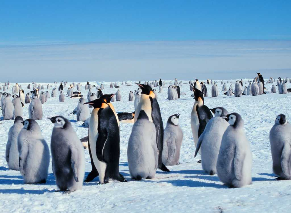Click to get the codes for this image. Penguins On The Snow, Snow and Ice, Animals  Birds, Seasons  Winter Background, wallpaper or texture for Blogger, Wordpress, or any phone, desktop or blog.