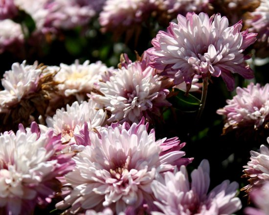 Click to get the codes for this image. Pink And White Chrysanthemums, Flowers  Floral Designs Background, wallpaper or texture for any blog, web page, phone or desktop