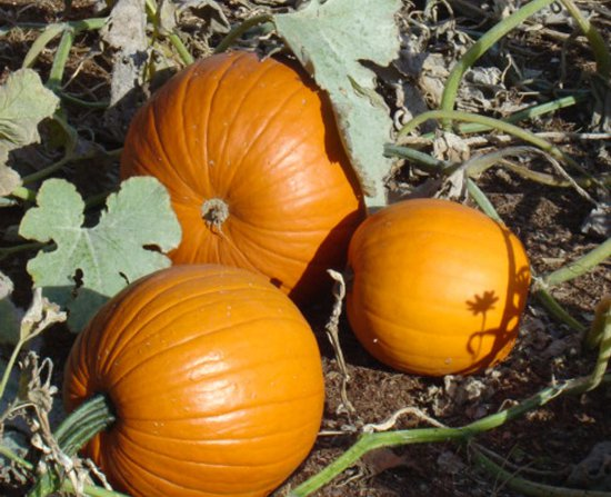 Click to get the codes for this image. Pumpkin Patch, Plants and Leaves, Seasons  Fall Background, wallpaper or texture for Blogger, Wordpress, or any phone, desktop or blog.