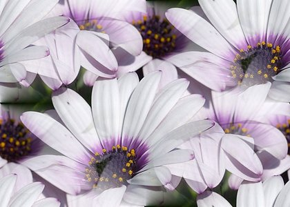 Click to get the codes for this image. Purple Daisies, Flowers  Floral Designs Background, wallpaper or texture for any blog, web page, phone or desktop