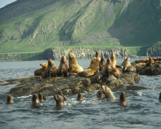 Click to get the codes for this image. Sea Lions, Nature Landscapes  Scenery, Animals  Ocean Life Background, wallpaper or texture for any blog, web page, phone or desktop