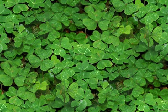Click to get the codes for this image. Seamless Shamrocks, Saint Patrick's Day, Colors  Green, Plants and Leaves Background, wallpaper or texture for Blogger, Wordpress, or any phone, desktop or blog.
