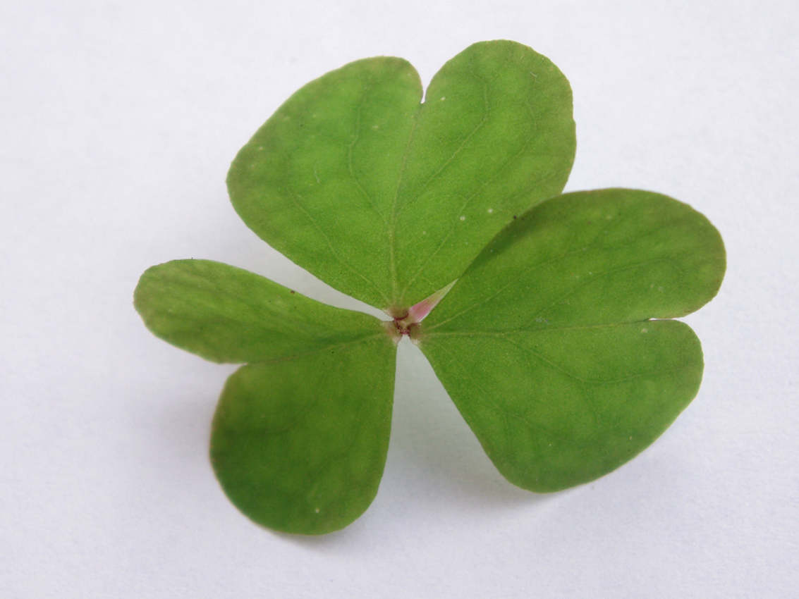 Click to get the codes for this image. Shamrock Closeup, Saint Patrick's Day, Plants and Leaves Background, wallpaper or texture for Blogger, Wordpress, or any phone, desktop or blog.