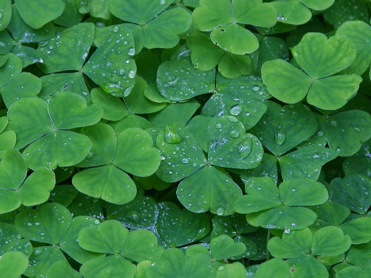 Click to get the codes for this image. Shamrocks With Raindrops, Saint Patrick's Day, Colors  Green, Plants and Leaves Background, wallpaper or texture for Blogger, Wordpress, or any phone, desktop or blog.