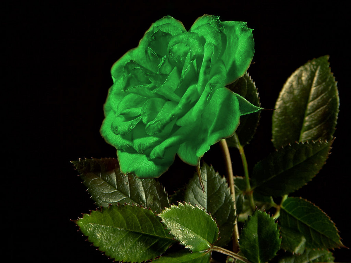 Click to get the codes for this image. Single Green Rose, Saint Patrick's Day, Colors  Green, Flowers  Floral Designs Background, wallpaper or texture for Blogger, Wordpress, or any phone, desktop or blog.