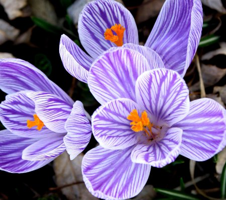 Click to get the codes for this image. Striped Purple Crocus 1800x1600, Flowers  Floral Designs, Seasons  Spring Background, wallpaper or texture for Blogger, Wordpress, or any phone, desktop or blog.