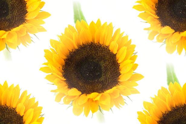 Tattos Again Free Sunflower Backgrounds