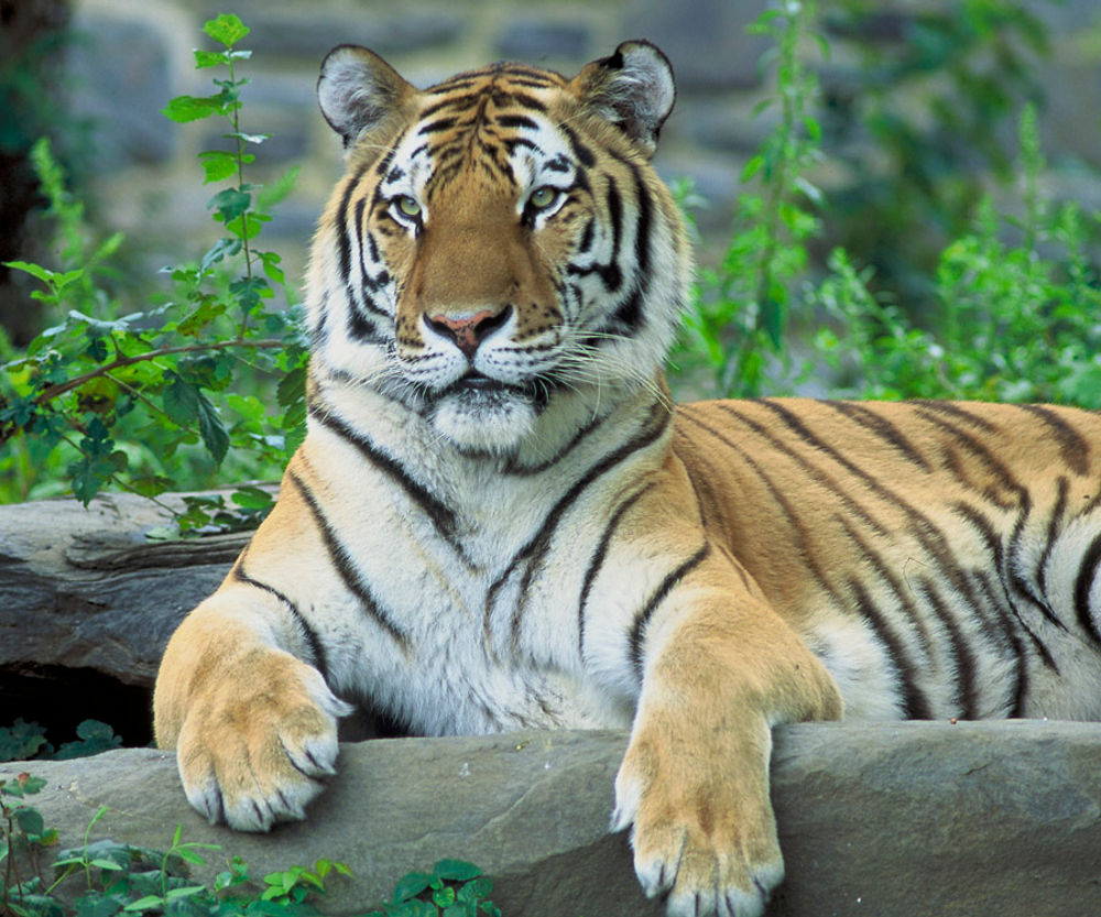 Click to get the codes for this image. Tiger Photograph, Animals  Cats Background, wallpaper or texture for any blog, web page, phone or desktop