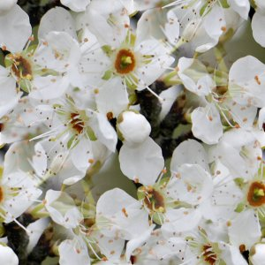 Click to get the codes for this image. White Blossoms, Flowers  Floral Designs, Colors  White and Eggshell, Seasons  Spring Background, wallpaper or texture for Blogger, Wordpress, or any phone, desktop or blog.