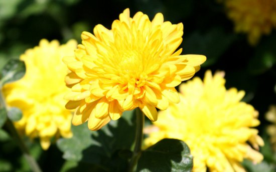 Click to get the codes for this image. Yellow Chrysanthemums, Flowers  Floral Designs Background, wallpaper or texture for any blog, web page, phone or desktop