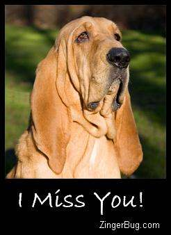 Click to get the codes for this image. I Miss You Bloodhound, Animals  Dogs, I Miss You Free Image, Glitter Graphic, Greeting or Meme for Facebook, Twitter or any forum or blog.