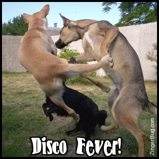 Click to get the codes for this image. This funny photo shows three dogs jumping and apparently dancing. The comment reads: Disco Fever!