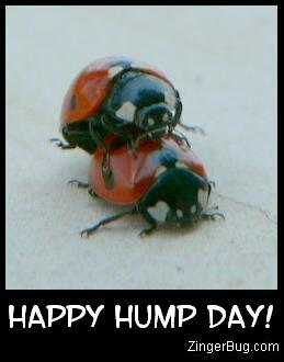 Click to get the codes for this image. Funny photo of 2 lady bugs on top of each other. Comment reads Happy Hump Day!