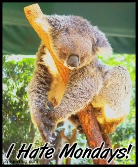 Click to get the codes for this image. This funny photo shows a sleepy koala bear draped over a branch. The comment reads: I Hate Mondays!