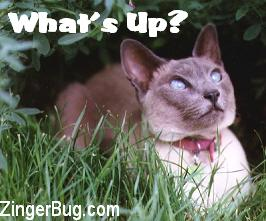 Click to get the codes for this image. This cute photo shows a siamese cat looking up into the air. The comment reads: What's Up?