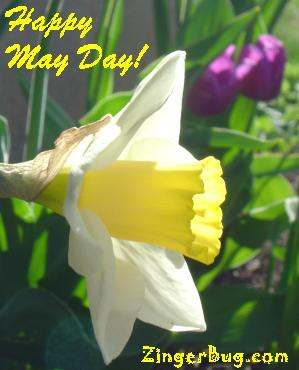 Click to get the codes for this image. Happy May Day Daffolil, May Day  Beltane Free Image, Glitter Graphic, Greeting or Meme for Facebook, Twitter or any forum or blog.