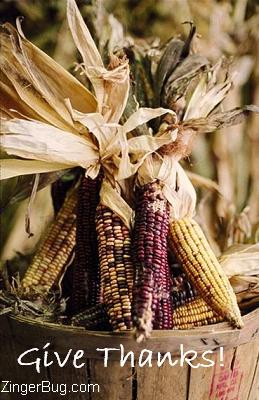 Click to get the codes for this image. Thanksgiving graphic. Photograph of colorful dried corn on the cob. The comment reads: Give thanks.